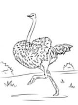 Dibujos de avestruz para colorear (10/32)
