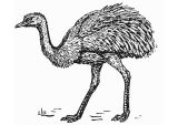 Dibujos de avestruz para colorear (26/32)