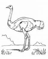 Imágenes de avestruz para pintar (2/13)