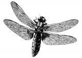 Dibujos de libélulas para colorear (2/15)